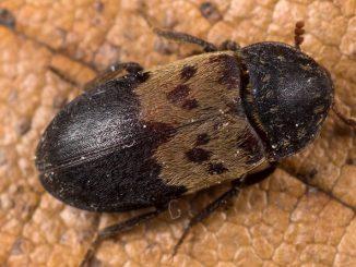 deri böceği ilaçlama, deri böceği nasıl ilaçlanır, deri böceği ilaçlaması yapma